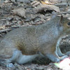 Gray Squirrel-Better Check to See If Anybody Is Watching - Looks a Bit Chunky Here So Maybe Pregnant