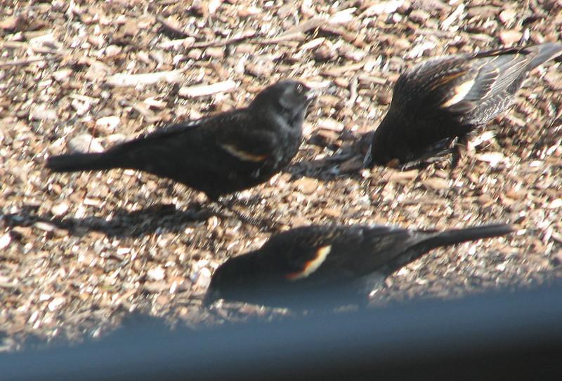 Red-winged Blackbirds Outside Randal's Window