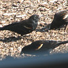 Red-winged Blackbirds Outside Randal's Window