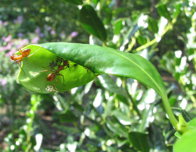 The Ants Protect the Aphids Since They Are a Source of Food for Them