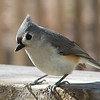 I See Me in the Window Reflection and Know I'm Cool - Tufted Titmouse