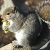 Always Eat Your Apple Peels When You Buy Local Apples - Eastern Gray Squirrel
