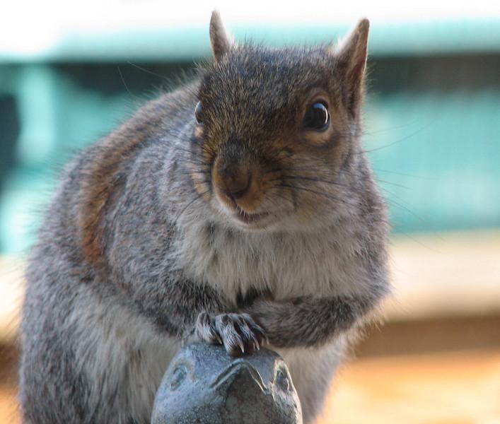 I Will Smile Prettier Than the Birdies Do - Eastern Gray Squirrel