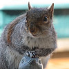 I Will Smile Prettier Than the Birdies Do - Eastern Gray Squirrel