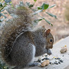 I Love Nuts - Eastern Gray Squirrel