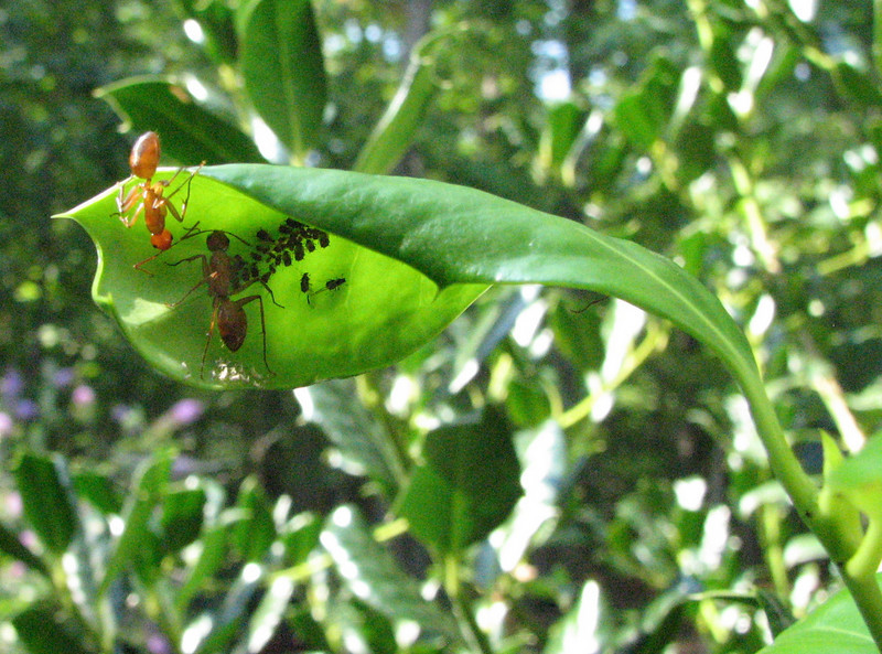 These Ants Are Enjoying the Honey Dew That the Aphids Produce