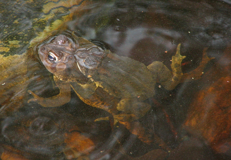 Our Pond Will Be Full of  American Toad Eggs