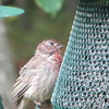 Is This a Molting Male House Finch
