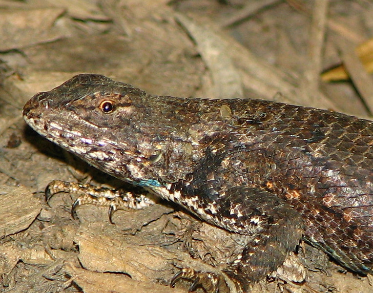 Close-up of Male Lizard with Turquoise Neck Stripe - Look at Those Claws - Color Variation of Eastern Fence Lizard