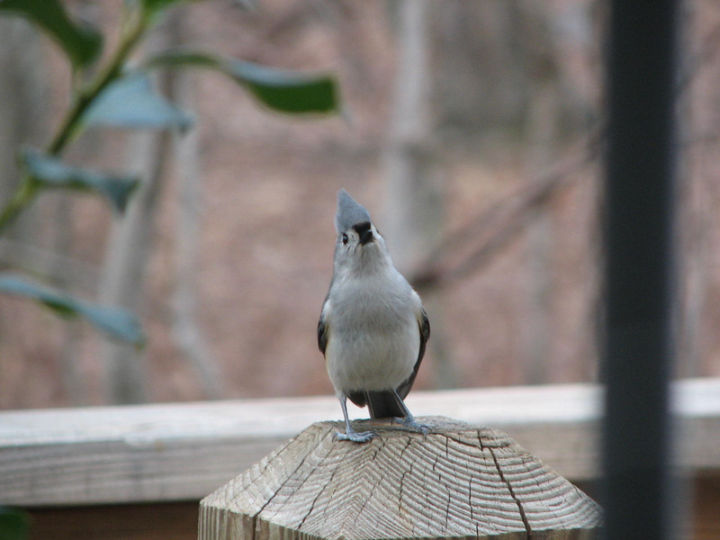 Courting the Lady - Tufted Titmouse