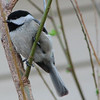 Looks Like a Black-Capped to Me