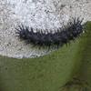 Red Admiral Caterpillar - Eats Nettle Nearby