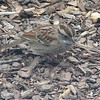 Injured White-throated Sparrow - Hopping Along on It's Left Foot