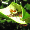 With a Leaf Flipped Over By Me, You Can See the Aphids and the Eyes of the Ants
