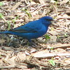Indigo Bunting with Sunflower Seed