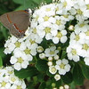 Red-banded Hairstreak Butterfly on Spirea Blossom - May 3
