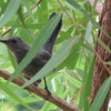 Gray Catbird - Looks a Bit Downy - Maybe a Young One