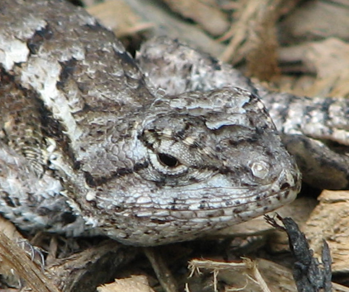 Close-up of Female Eastern Fence Lizard Smile