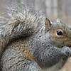 And Offer Some Antics to the Lady Feeding Me - Eastern Gray Squirrel