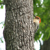 Male Red-bellied Woodpecker Nesting in This Tree Singing to The Mama in the Nest Above
