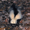 Striped Skunk Nibbling on Our Nightly Toss of Veggie and Fruit Scraps