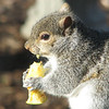Anybody Have a Napkin - Eastern Gray Squirrel