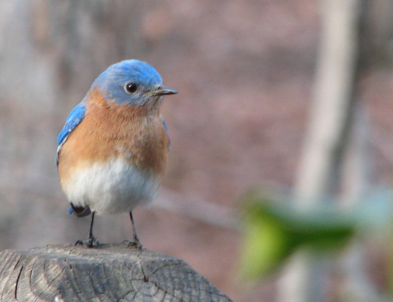Hey There's a Lady Through That Window Taking Pictures of Us - Male Eastern Bluebird