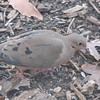 Mourning Dove Outside Office Window