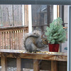 View From My Desk - Eastern Gray Squirrel