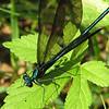 Male Black-winged Damselfly In Rear Yard on Cleome Leaf_2
