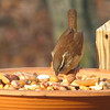 Carolina Wren Looking For Something in Nut and Fruit Mix