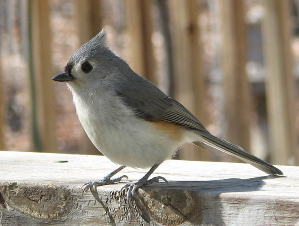 I'm As Pretty as Anything You Will See - Eastern Tufted Titmouse