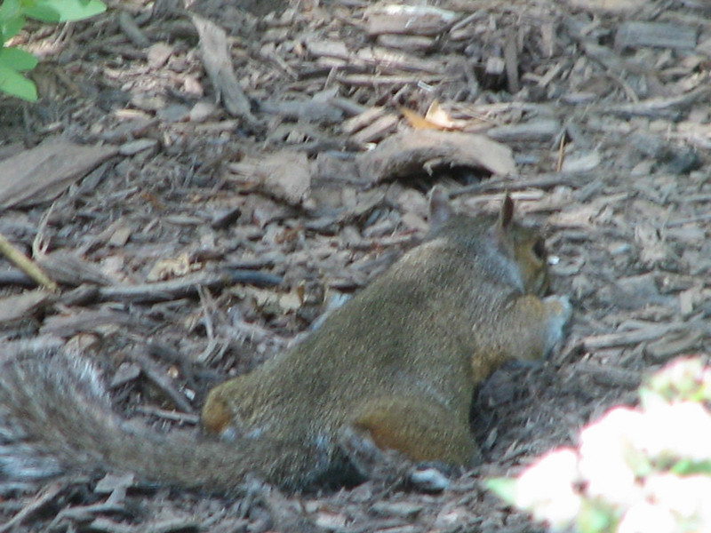 Eastern Gray Squirrel-Ahhhh, Isn't It Nice Just To Take a Break Now and Then