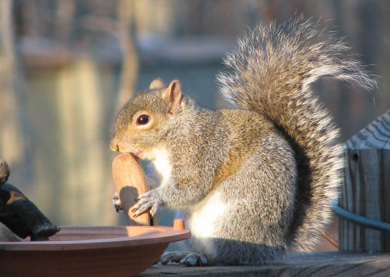 Driftwood Lollipop for Squirrel