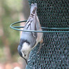 White-breasted Nuthatch_2