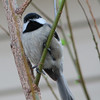 It Seemed He Was Totally Serenading Us - Black-capped Chickadee