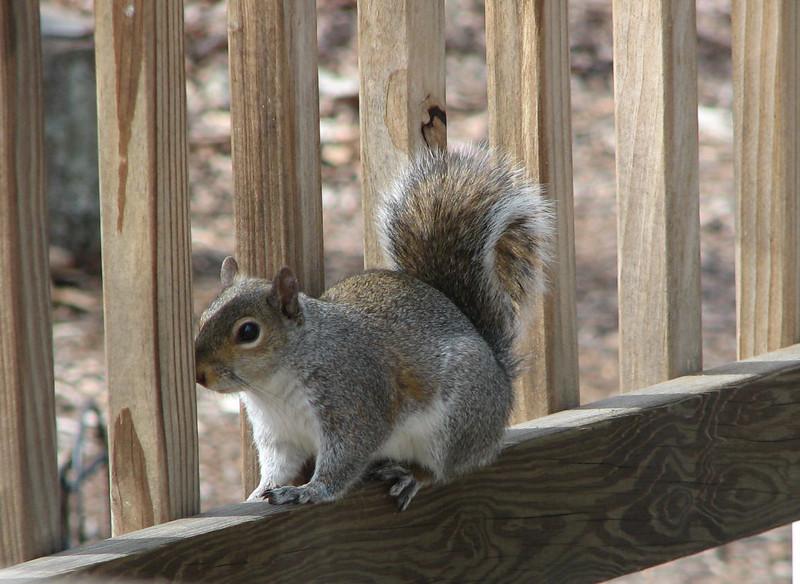 Peek-a-Boo Eastern Gray Squirrel
