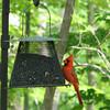 I'm a Pretty Male Cardinal