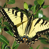 He's Already Got a Nibble Out of His Wing - They Don't Last for Long - Such Fleeting Beauty - Male Eastern Tiger Swallowtail