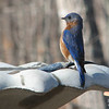 Attention - March Left Right, Left Right - Male Eastern Bluebird
