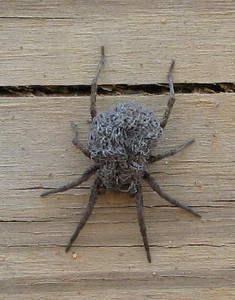 Wolf Spider or a Brillo Pad or a Bad Hair Day Spider