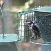 Downy Woodpecker at the Suet