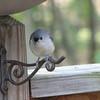 Tufted Titmouse Under the BirdBath on Deck