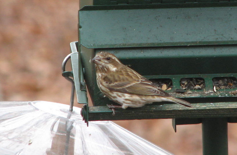 Female Purple Finch at Rear Feeder