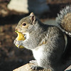 Sunny Days and Yummy Apples - Eastern Gray Squirrel