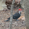 Anybody Mind If I Check Out the Pond - Male Pileated Woodpecker