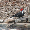 It Must Be Me - Male Pileated Woodpecker
