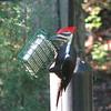 Pileated Woodpecker on Small Suet Feeder_2
