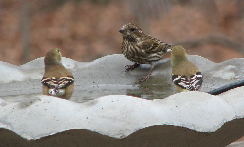 Let's Have a Pool Party - Finch and Goldfinches
