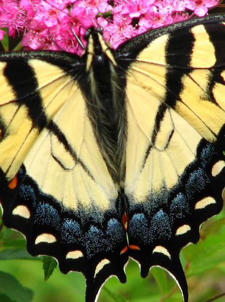Close-up of Female Yellow Eastern Tiger Swallowtail Butterfly on Anthony Waterer Spirea